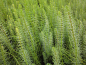 Preview: Marestail - Hippuris vulgaris