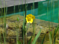 Preview: Water buttercup - Ranunculus lingua