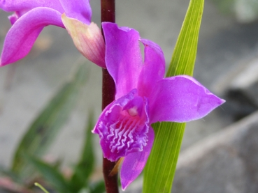 Bletilla striata - Sumpforchidee