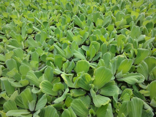 Water Cabbage - Pistia stratiodes