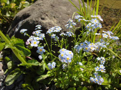 Water forget-me-not - Myosotis palustris