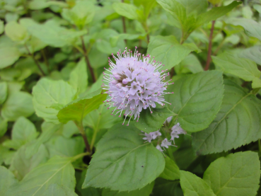 Water Mint - Mentha aquatica