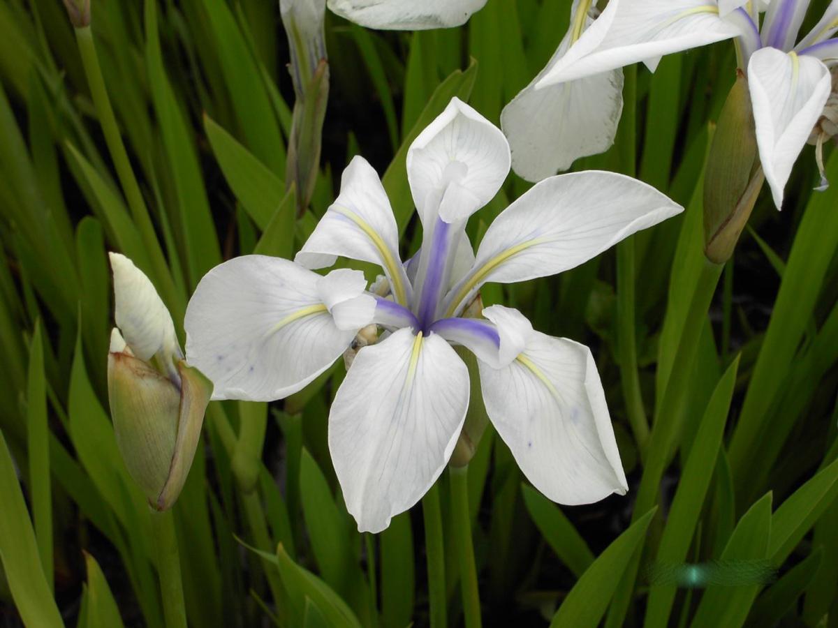 teichpflanzen shop und wasserpflanzen shop iris laevigata alba sumpfschwertlilie weiss. Black Bedroom Furniture Sets. Home Design Ideas