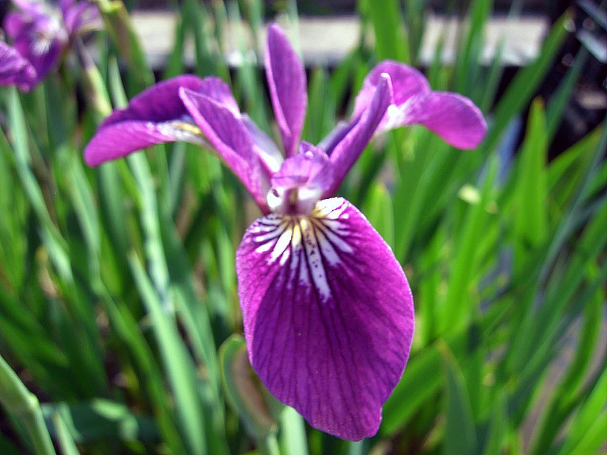 teichpflanzen shop und wasserpflanzen shop iris versicolor kermesina sumpfschwertlilie rot violett. Black Bedroom Furniture Sets. Home Design Ideas