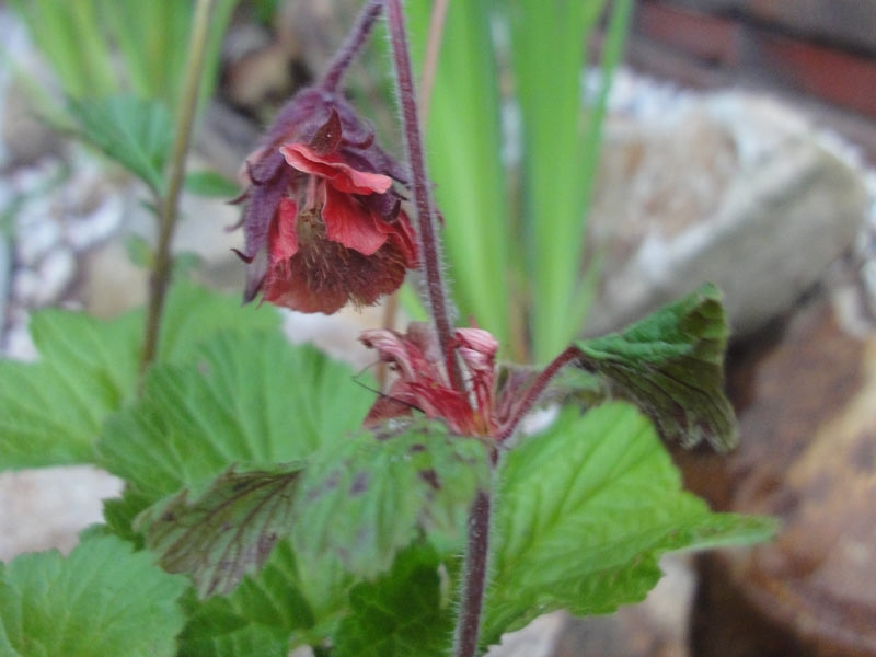 Water-Avens