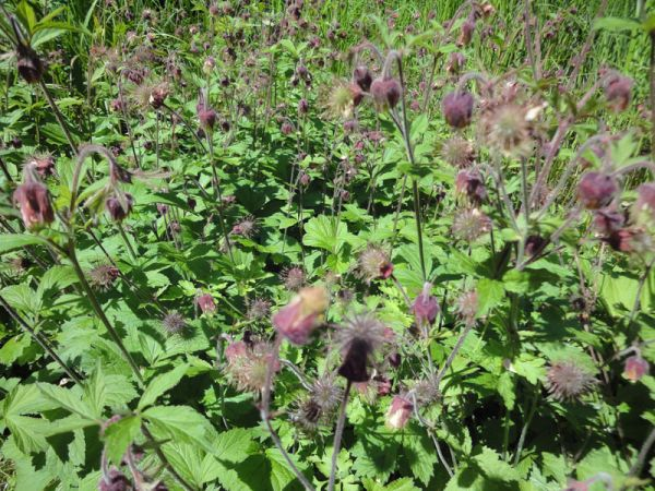 Water Avens - Geum rivale