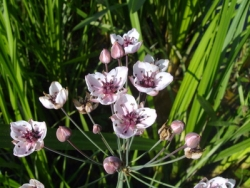 Flowering rush - Butomus umbellatus