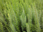 Marestail - Hippuris vulgaris